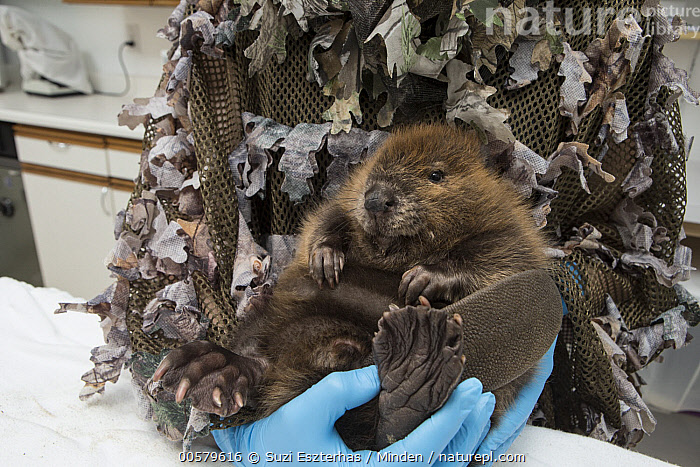 American Beaver (Castor canadensis) wildlife rehabilitator, Jessie Lazaris, weighing one-month-old orphaned kit, Sarvey Wildlife Care Center, Arlington, Washington  ,  Adult, American Beaver, Arlington, Baby, Camouflage, Captive, Castor canadensis, Caucasian Appearance, Color Image, Conservation, Conservationist, Cute, Day, Disguise, Female, Front View, Full Length, Horizontal, Indoors, Jessie Lazaris, Kit, One Animal, One Person, Orphan, Photography, Rehabilitation, Sarvey Wildlife Care Center, Waist Up, Washington, Weighing, Wildlife, Woman, Young Adult,American Beaver,Washington, USA  ,  Suzi Eszterhas
