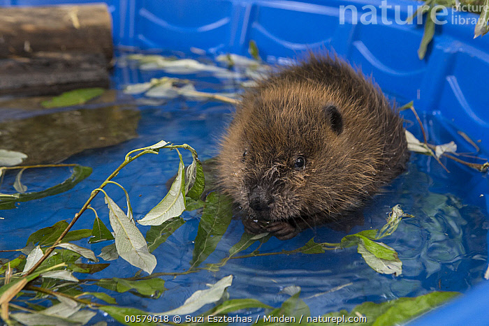 American Beaver (Castor canadensis) one-month-old orphaned kit in pool, Sarvey Wildlife Care Center, Arlington, Washington, Adult, American Beaver, Arlington, Baby, Captive, Castor canadensis, Color Image, Conservation, Cute, Day, Front View, Full Length, Horizontal, Kit, Nobody, One Animal, Orphan, Outdoors, Photography, Pool, Rehabilitation, Sarvey Wildlife Care Center, Washington, Wildlife,American Beaver,Washington, USA, Suzi Eszterhas