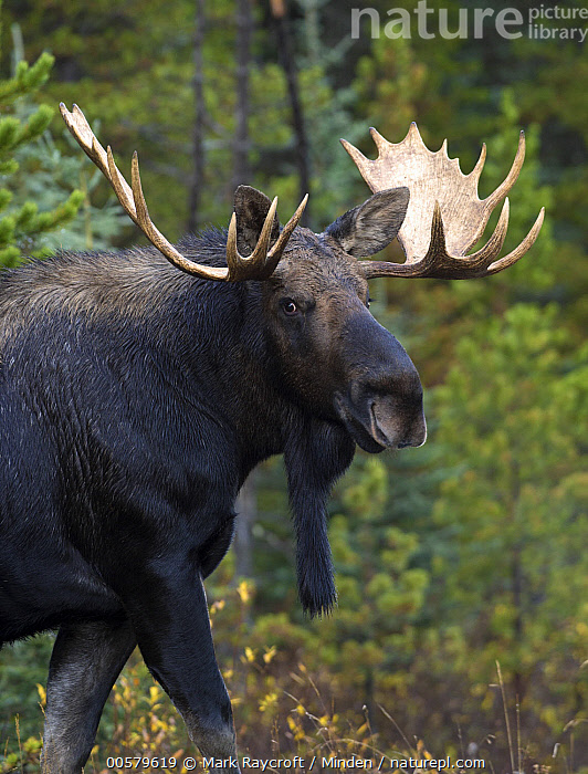 Moose (Alces alces) bull, North America  ,  Adult, Alces alces, Bull, Color Image, Day, Looking at Camera, Male, Moose, Nobody, North America, One Animal, Outdoors, Photography, Side View, Vertical, Waist Up, Wildlife,Moose,North America  ,  Mark Raycroft