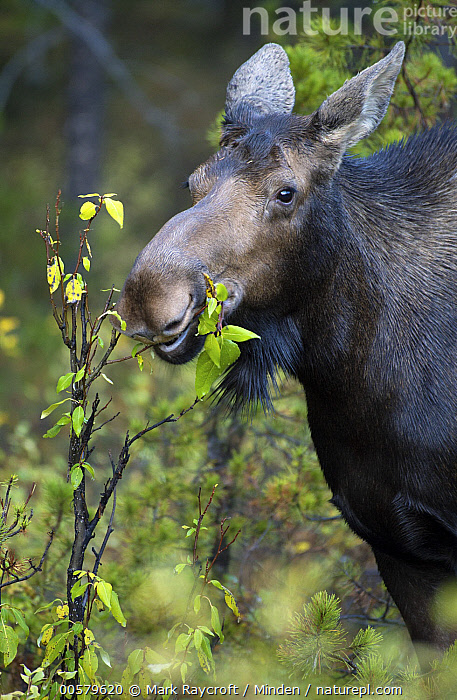 Moose (Alces alces) female browsing, North America, Adult, Alces alces, Browsing, Color Image, Day, Female, Head and Shoulders, Moose, Nobody, North America, One Animal, Outdoors, Photography, Side View, Vertical, Wildlife,Moose,North America, Mark Raycroft