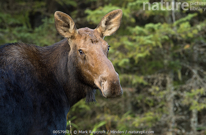 Moose (Alces alces) female, North America  ,  Adult, Alces alces, Color Image, Day, Female, Head and Shoulders, Horizontal, Looking at Camera, Moose, Nobody, North America, One Animal, Outdoors, Photography, Portrait, Profile, Side View, Wildlife,Moose,North America  ,  Mark Raycroft