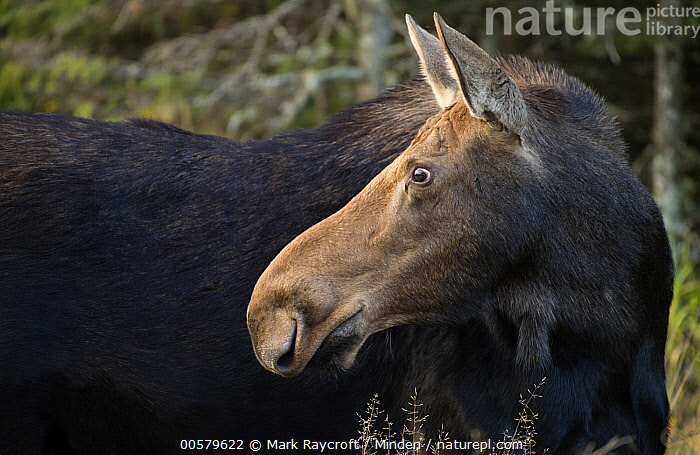 Moose (Alces alces) female, North America, Adult, Alces alces, Close Up, Color Image, Day, Female, Horizontal, Moose, Nobody, North America, One Animal, Outdoors, Photography, Profile, Side View, Waist Up, Wildlife,Moose,North America, Mark Raycroft