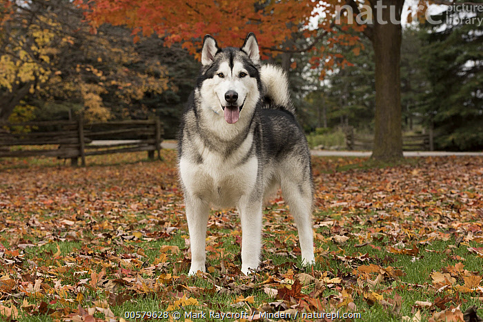 Alaskan Malamute (Canis familiaris) male, North America  ,  Adult, Alaskan Malamute, Canis familiaris, Color Image, Day, Domestic Dog, Front View, Full Length, Horizontal, Looking at Camera, Male, Nobody, North America, One Animal, Outdoors, Photography,Alaskan Malamute,North America  ,  Mark Raycroft