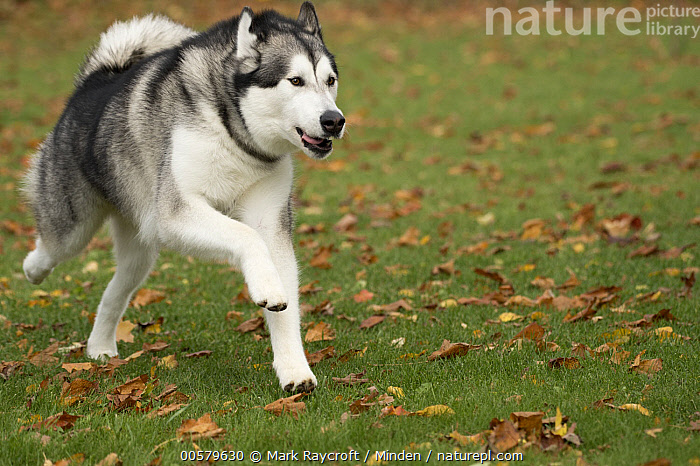 Alaskan Malamute (Canis familiaris) male running, North America  ,  Adult, Alaskan Malamute, Canis familiaris, Color Image, Day, Domestic Dog, Horizontal, Male, Nobody, North America, One Animal, Outdoors, Photography, Running, Side View, Three Quarter Length,Alaskan Malamute,North America  ,  Mark Raycroft