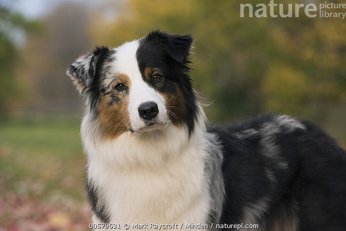 Australian Shepherd (Canis familiaris), North America, Adult, Australian Shepherd, Canis familiaris, Color Image, Day, Domestic Dog, Horizontal, Looking at Camera, Nobody, North America, One Animal, Outdoors, Photography, Side View, Three Quarter Length, Tri-color,Australian Shepherd,North America, Mark Raycroft
