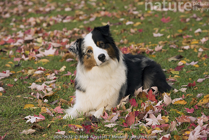 Australian Shepherd (Canis familiaris), North America  ,  Adult, Australian Shepherd, Canis familiaris, Color Image, Curiosity, Day, Domestic Dog, Full Length, Horizontal, Looking at Camera, Nobody, North America, One Animal, Outdoors, Photography, Side View, Tri-color,Australian Shepherd,North America  ,  Mark Raycroft