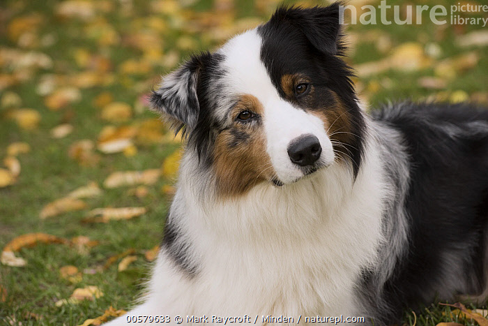 Australian Shepherd (Canis familiaris), North America, Adult, Australian Shepherd, Canis familiaris, Color Image, Curiosity, Day, Domestic Dog, Horizontal, Looking at Camera, Nobody, North America, One Animal, Outdoors, Photography, Side View, Tri-color, Waist Up,Australian Shepherd,North America, Mark Raycroft