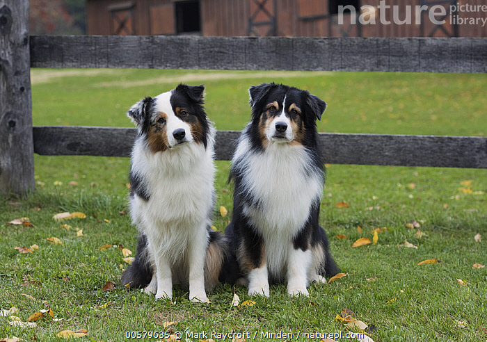 Australian Shepherd (Canis familiaris) pair, North America, Adult, Australian Shepherd, Canis familiaris, Color Image, Day, Domestic Dog, Front View, Full Length, Horizontal, Looking at Camera, Nobody, North America, Outdoors, Photography, Two Animals,Australian Shepherd,North America, Mark Raycroft