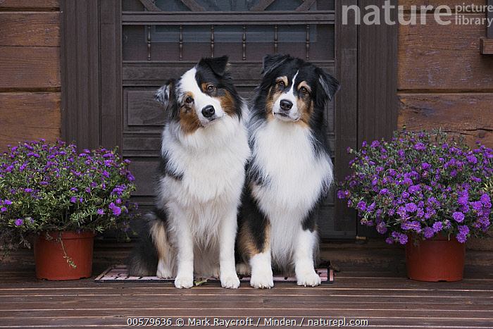 Australian Shepherd (Canis familiaris) pair, North America  ,  Adult, Australian Shepherd, Canis familiaris, Color Image, Day, Domestic Dog, Front View, Full Length, Horizontal, Looking at Camera, Nobody, North America, Outdoors, Photography, Two Animals,Australian Shepherd,North America  ,  Mark Raycroft