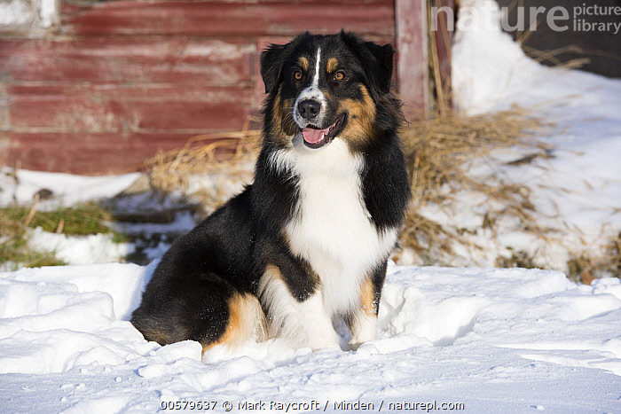Australian Shepherd (Canis familiaris) tricolor, in winter, North America  ,  Adult, Australian Shepherd, Canis familiaris, Color Image, Day, Domestic Dog, Full Length, Horizontal, Nobody, North America, One Animal, Outdoors, Photography, Side View, Snow, Tri-color, Winter,Australian Shepherd,North America  ,  Mark Raycroft