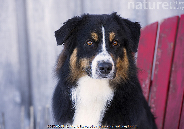 Australian Shepherd (Canis familiaris), North America  ,  Adult, Australian Shepherd, Canis familiaris, Color Image, Day, Domestic Dog, Front View, Head and Shoulders, Horizontal, Nobody, North America, One Animal, Outdoors, Photography, Portrait, Tri-color,Australian Shepherd,North America  ,  Mark Raycroft