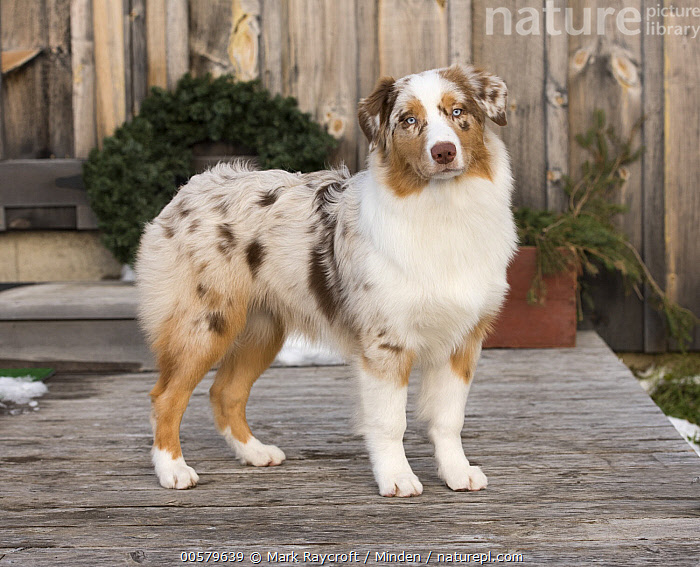 Australian Shepherd (Canis familiaris), North America, Adult, Australian Shepherd, Canis familiaris, Color Image, Day, Domestic Dog, Full Length, Horizontal, Looking at Camera, Nobody, North America, One Animal, Outdoors, Photography, Side View, Winter,Australian Shepherd,North America, Mark Raycroft