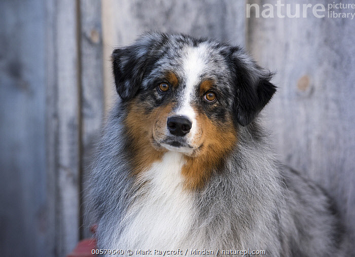 Australian Shepherd (Canis familiaris) male, North America, Adult, Australian Shepherd, Canis familiaris, Color Image, Day, Domestic Dog, Front View, Head and Shoulders, Horizontal, Male, Nobody, North America, One Animal, Outdoors, Photography, Portrait, Tri-color,Australian Shepherd,North America, Mark Raycroft