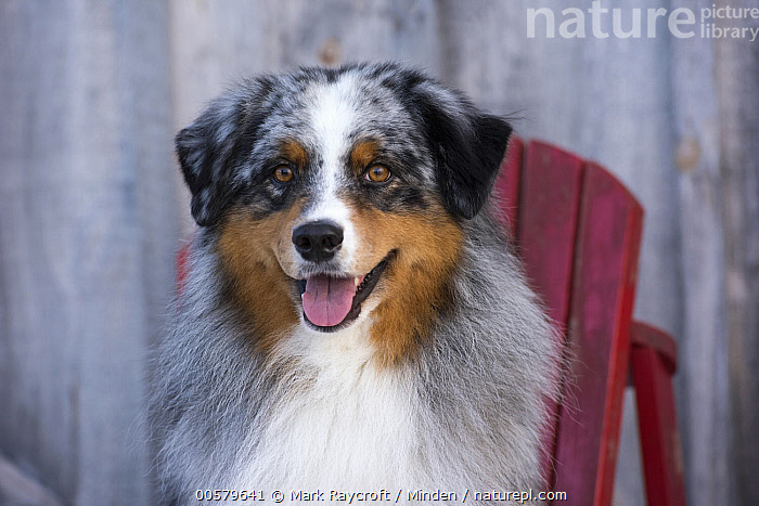 Australian Shepherd (Canis familiaris) male, North America, Adult, Australian Shepherd, Canis familiaris, Color Image, Day, Domestic Dog, Front View, Head and Shoulders, Horizontal, Looking at Camera, Male, Nobody, North America, One Animal, Outdoors, Panting, Photography, Portrait, Tri-color,Australian Shepherd,North America, Mark Raycroft