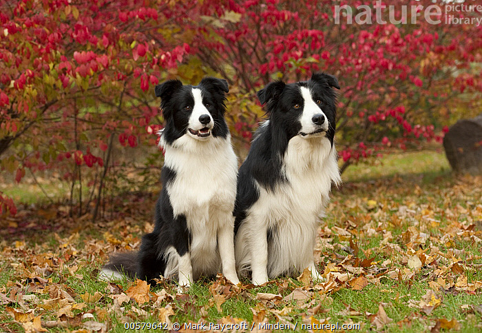 Border Collie (Canis familiaris) male and female, North America, Adult, Black And White, Border Collie, Canis familiaris, Color Image, Day, Domestic Dog, Female, Front View, Full Length, Horizontal, Male, Nobody, North America, Outdoors, Photography, Two Animals,Border Collie,North America, Mark Raycroft