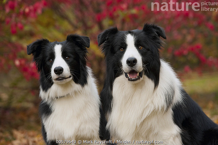Border Collie (Canis familiaris) male and female, North America  ,  Adult, Black And White, Border Collie, Canis familiaris, Color Image, Day, Domestic Dog, Female, Front View, Horizontal, Looking at Camera, Male, Nobody, North America, Outdoors, Photography, Side View, Two Animals, Waist Up,Border Collie,North America  ,  Mark Raycroft