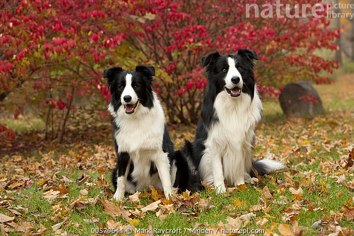 Border Collie (Canis familiaris) male and female, North America  ,  Adult, Black And White, Border Collie, Canis familiaris, Color Image, Day, Domestic Dog, Female, Front View, Full Length, Horizontal, Looking at Camera, Male, Nobody, North America, Outdoors, Photography, Two Animals,Border Collie,North America  ,  Mark Raycroft