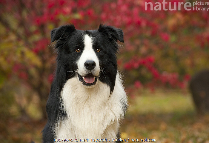 Border Collie (Canis familiaris) male, North America, Adult, Black And White, Border Collie, Canis familiaris, Color Image, Day, Domestic Dog, Front View, Horizontal, Looking at Camera, Male, Nobody, North America, One Animal, Outdoors, Photography, Waist Up,Border Collie,North America, Mark Raycroft