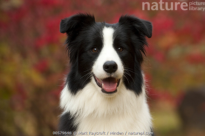 Border Collie (Canis familiaris) female, North America  ,  Adult, Black And White, Border Collie, Canis familiaris, Color Image, Day, Domestic Dog, Female, Front View, Head and Shoulders, Horizontal, Looking at Camera, Nobody, North America, One Animal, Outdoors, Photography, Portrait,Border Collie,North America  ,  Mark Raycroft