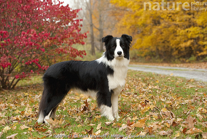 Border Collie (Canis familiaris) female, North America, Adult, Black And White, Border Collie, Canis familiaris, Color Image, Day, Domestic Dog, Female, Full Length, Horizontal, Looking at Camera, Nobody, North America, One Animal, Outdoors, Photography, Side View,Border Collie,North America, Mark Raycroft
