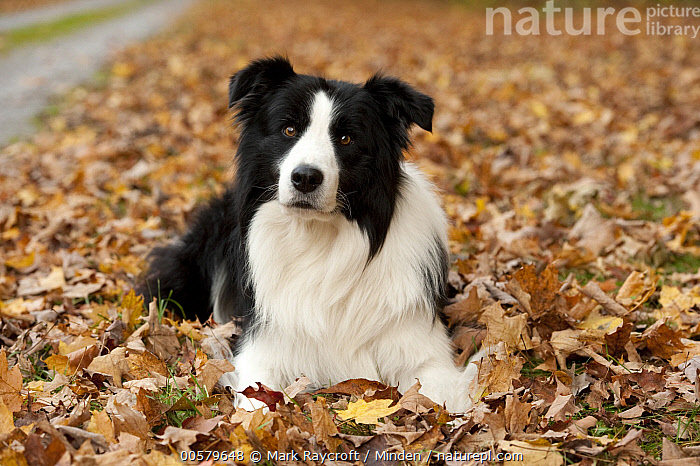 Border Collie (Canis familiaris) female, North America  ,  Adult, Black And White, Border Collie, Canis familiaris, Color Image, Day, Domestic Dog, Female, Front View, Full Length, Horizontal, Looking at Camera, Nobody, North America, One Animal, Outdoors, Photography,Border Collie,North America  ,  Mark Raycroft