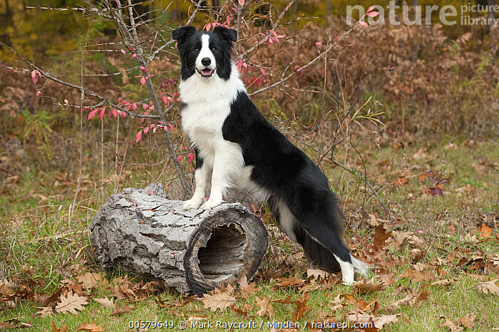 Border Collie (Canis familiaris) female, North America  ,  Adult, Black And White, Border Collie, Canis familiaris, Color Image, Day, Domestic Dog, Female, Full Length, Horizontal, Looking at Camera, Nobody, North America, One Animal, Outdoors, Photography, Side View,Border Collie,North America  ,  Mark Raycroft