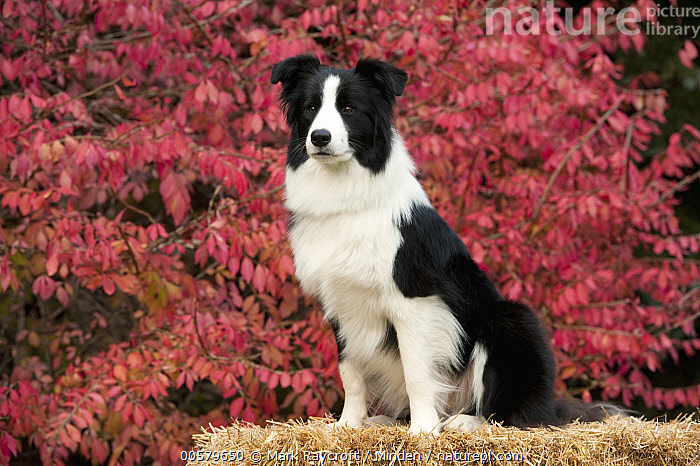 Border Collie (Canis familiaris) female, North America, Adult, Black And White, Border Collie, Canis familiaris, Color Image, Day, Domestic Dog, Female, Full Length, Horizontal, Nobody, North America, One Animal, Outdoors, Photography, Side View,Border Collie,North America, Mark Raycroft