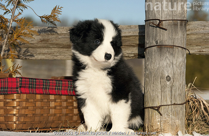 Border Collie (Canis familiaris) puppy in winter, North America  ,  Baby, Black And White, Border Collie, Canis familiaris, Color Image, Cute, Day, Domestic Dog, Front View, Full Length, Horizontal, Nobody, North America, One Animal, Outdoors, Photography, Puppy, Winter,Border Collie,North America  ,  Mark Raycroft