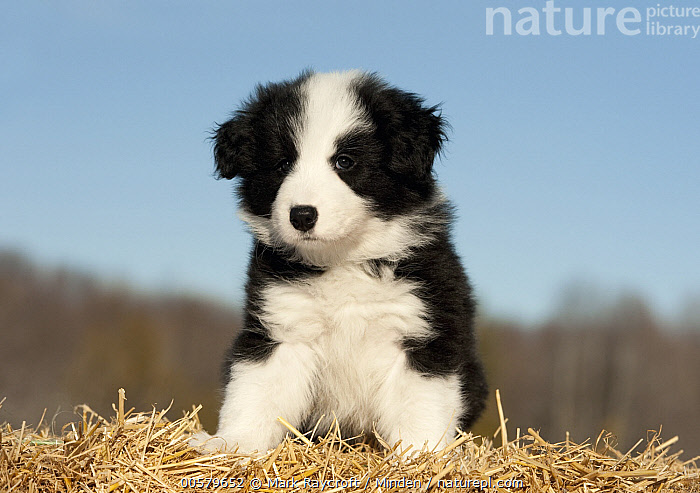 Border Collie (Canis familiaris) puppy, North America  ,  Baby, Black And White, Border Collie, Canis familiaris, Color Image, Cute, Day, Domestic Dog, Front View, Full Length, Horizontal, Looking at Camera, Nobody, North America, One Animal, Outdoors, Photography, Puppy,Border Collie,North America  ,  Mark Raycroft