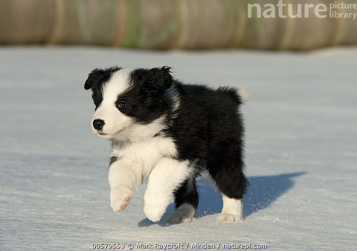 Border Collie (Canis familiaris) puppy running in winter, North America  ,  Baby, Black And White, Border Collie, Canis familiaris, Color Image, Cute, Day, Domestic Dog, Full Length, Horizontal, Nobody, North America, One Animal, Outdoors, Photography, Puppy, Running, Side View, Snow, Winter,Border Collie,North America  ,  Mark Raycroft