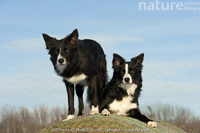 Border Collie (Canis familiaris) male and female, North America  ,  Adult, Black And White, Border Collie, Canis familiaris, Color Image, Day, Domestic Dog, Female, Front View, Full Length, Horizontal, Male, Nobody, North America, Outdoors, Photography, Two Animals,Border Collie,North America  ,  Mark Raycroft