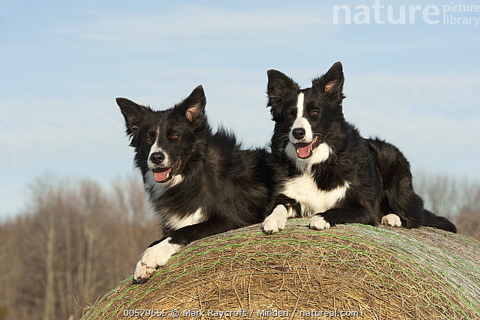 Border Collie (Canis familiaris) male and female, North America, Adult, Black And White, Border Collie, Canis familiaris, Color Image, Day, Domestic Dog, Female, Front View, Full Length, Horizontal, Male, Nobody, North America, Outdoors, Panting, Photography, Side View, Two Animals,Border Collie,North America, Mark Raycroft