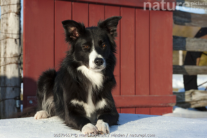 Border Collie (Canis familiaris) in winter, North America  ,  Adult, Black And White, Border Collie, Canis familiaris, Color Image, Day, Domestic Dog, Front View, Full Length, Horizontal, Nobody, North America, One Animal, Outdoors, Photography, Snow, Winter,Border Collie,North America  ,  Mark Raycroft