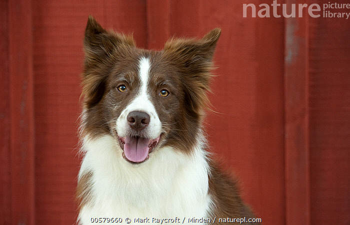 Border Collie (Canis familiaris), North America, Adult, Border Collie, Canis familiaris, Color Image, Day, Domestic Dog, Front View, Head and Shoulders, Horizontal, Looking at Camera, Nobody, North America, One Animal, Outdoors, Panting, Photography, Portrait,Border Collie,North America, Mark Raycroft