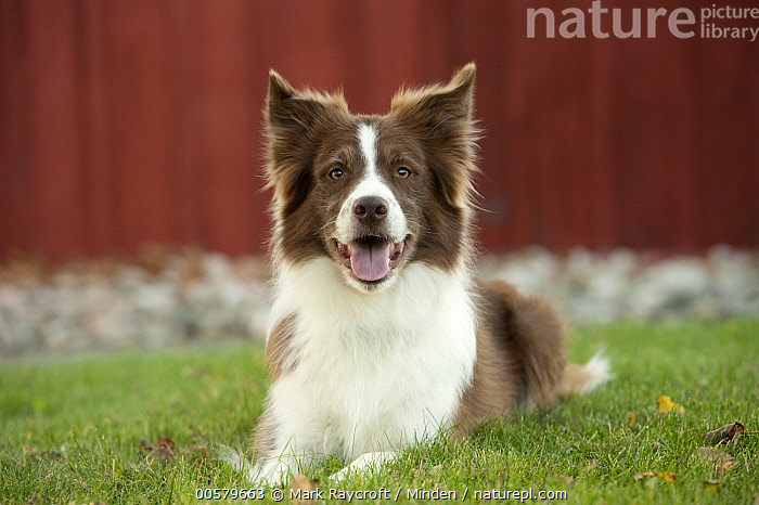 Border Collie (Canis familiaris), North America  ,  Adult, Border Collie, Canis familiaris, Color Image, Day, Domestic Dog, Front View, Full Length, Horizontal, Looking at Camera, Nobody, North America, One Animal, Outdoors, Photography,Border Collie,North America  ,  Mark Raycroft