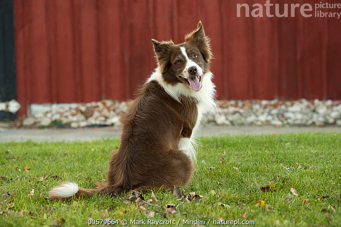 Border Collie (Canis familiaris), North America  ,  Adult, Border Collie, Canis familiaris, Color Image, Day, Domestic Dog, Full Length, Horizontal, Looking at Camera, Looking Back, Nobody, North America, One Animal, Outdoors, Photography, Rear View,Border Collie,North America  ,  Mark Raycroft