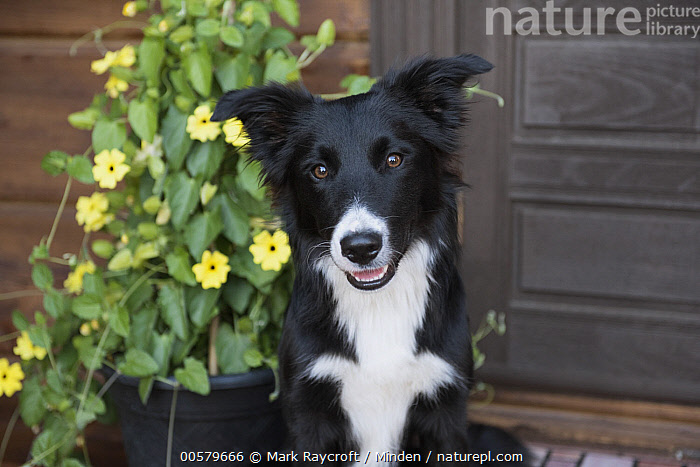 Border Collie (Canis familiaris) juvenile, North America  ,  Black And White, Border Collie, Canis familiaris, Color Image, Day, Domestic Dog, Front View, Head and Shoulders, Horizontal, Juvenile, Looking at Camera, Nobody, North America, One Animal, Outdoors, Photography, Portrait,Border Collie,North America  ,  Mark Raycroft