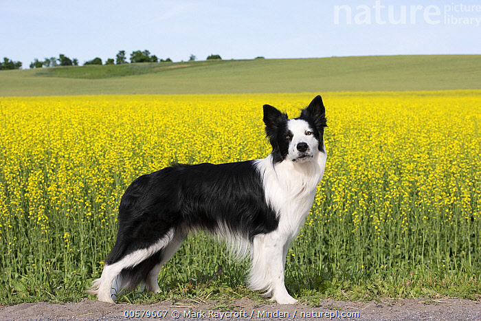 Border Collie (Canis familiaris), North America  ,  Adult, Black And White, Border Collie, Canis familiaris, Color Image, Day, Domestic Dog, Full Length, Horizontal, Looking at Camera, Nobody, North America, One Animal, Outdoors, Photography, Side View,Border Collie,North America  ,  Mark Raycroft