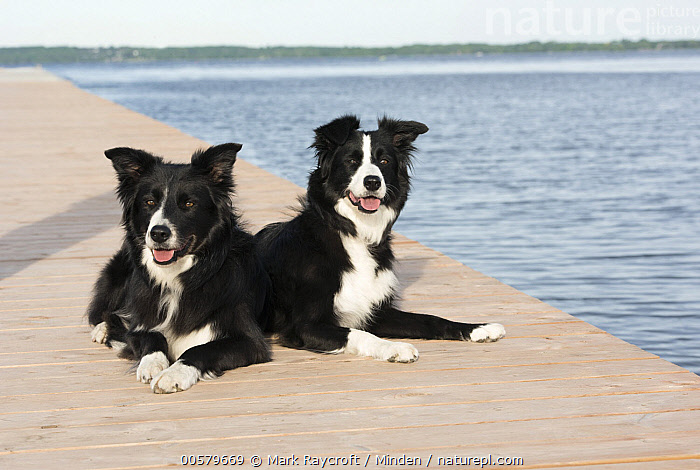 Border Collie (Canis familiaris) male and female, North America  ,  Adult, Black And White, Border Collie, Canis familiaris, Color Image, Day, Domestic Dog, Female, Front View, Full Length, Horizontal, Male, Nobody, North America, Outdoors, Photography, Side View, Two Animals,Border Collie,North America  ,  Mark Raycroft