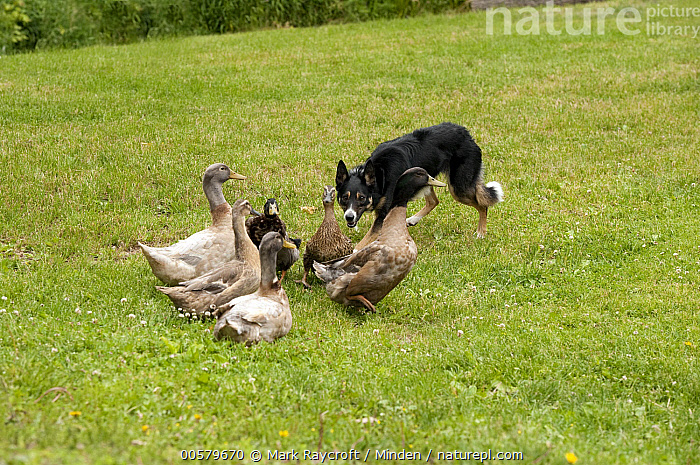 Border Collie (Canis familiaris) herding domestic duck flock, North America  ,  Adult, Border Collie, Canis familiaris, Color Image, Day, Domestic Animal, Domestic Dog, Domestic Duck, Flock, Full Length, Herding, Horizontal, Medium Group of Animals, Nobody, North America, Outdoors, Photography, Side View,Border Collie,North America  ,  Mark Raycroft