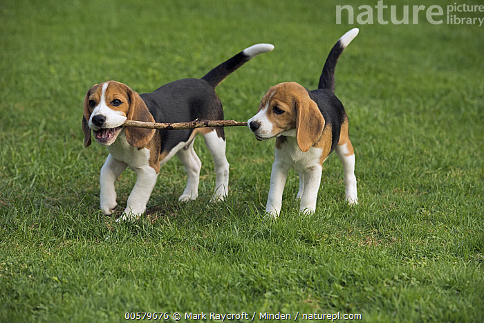 Beagle (Canis familiaris) puppies playing with stick, North America, Baby, Beagle, Canis familiaris, Carrying, Color Image, Day, Domestic Dog, Fetching, Full Length, Horizontal, Nobody, North America, Outdoors, Photography, Playing, Puppy, Side View, Stick, Two Animals,Beagle,North America, Mark Raycroft