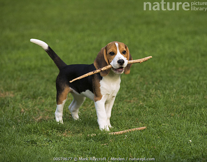 Beagle (Canis familiaris) puppy playing with stick, North America, Baby, Beagle, Canis familiaris, Carrying, Color Image, Day, Domestic Dog, Fetching, Full Length, Horizontal, Nobody, North America, One Animal, Outdoors, Photography, Playing, Puppy, Side View, Stick,Beagle,North America, Mark Raycroft