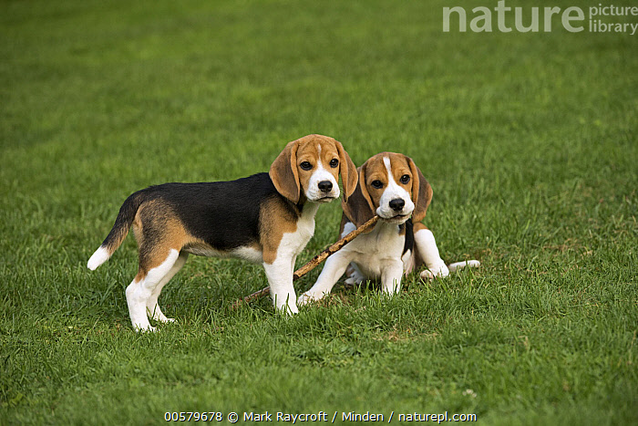 Beagle (Canis familiaris) puppies playing with stick, North America, Baby, Beagle, Canis familiaris, Carrying, Color Image, Day, Domestic Dog, Fetching, Front View, Full Length, Horizontal, Nobody, North America, Outdoors, Photography, Playing, Puppy, Side View, Stick, Two Animals,Beagle,North America, Mark Raycroft