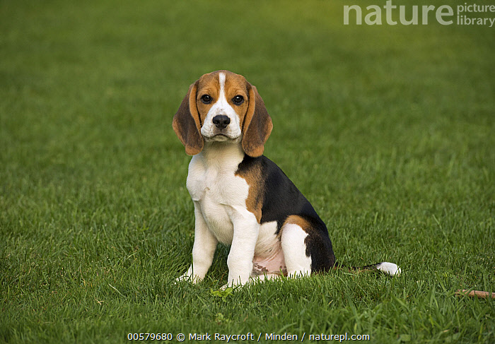 Beagle (Canis familiaris) puppy, North America  ,  Baby, Beagle, Canis familiaris, Color Image, Day, Domestic Dog, Full Length, Horizontal, Looking at Camera, Nobody, North America, One Animal, Outdoors, Photography, Puppy, Side View,Beagle,North America  ,  Mark Raycroft