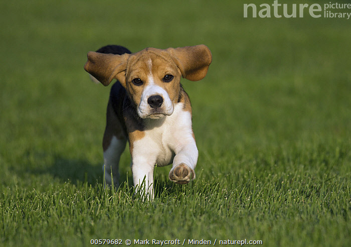 Beagle (Canis familiaris) puppy running, North America  ,  Approaching, Baby, Beagle, Canis familiaris, Color Image, Day, Domestic Dog, Front View, Full Length, Horizontal, Looking at Camera, Nobody, North America, One Animal, Outdoors, Photography, Puppy, Running,Beagle,North America  ,  Mark Raycroft