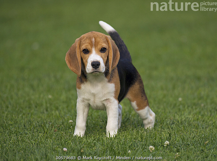 Beagle (Canis familiaris) puppy, North America, Baby, Beagle, Canis familiaris, Color Image, Day, Domestic Dog, Front View, Full Length, Horizontal, Looking at Camera, Nobody, North America, One Animal, Outdoors, Photography, Puppy,Beagle,North America, Mark Raycroft