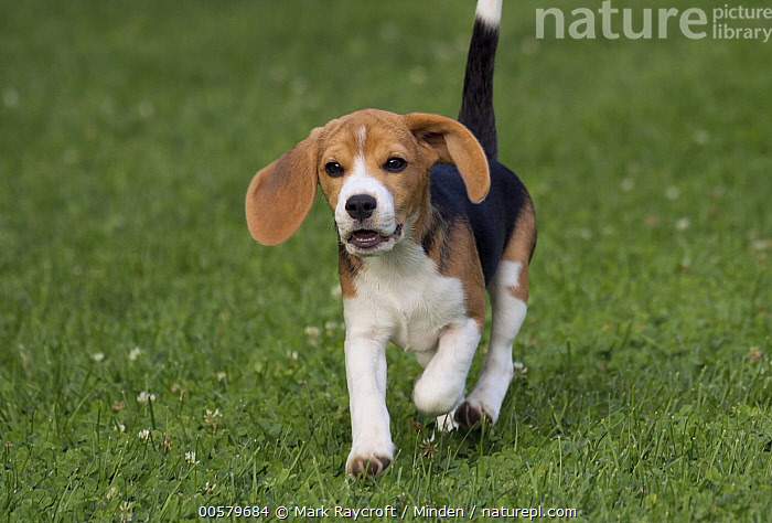 Beagle (Canis familiaris) puppy running, North America  ,  Baby, Beagle, Canis familiaris, Color Image, Day, Domestic Dog, Front View, Horizontal, Looking at Camera, Nobody, North America, One Animal, Outdoors, Photography, Puppy, Running, Three Quarter Length,Beagle,North America  ,  Mark Raycroft