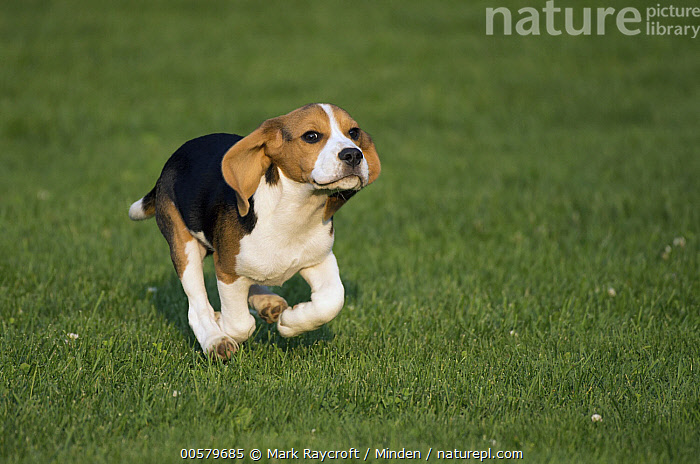 Beagle (Canis familiaris) puppy running, North America  ,  Baby, Beagle, Canis familiaris, Color Image, Day, Domestic Dog, Full Length, Horizontal, Nobody, North America, One Animal, Outdoors, Photography, Puppy, Running, Side View,Beagle,North America  ,  Mark Raycroft
