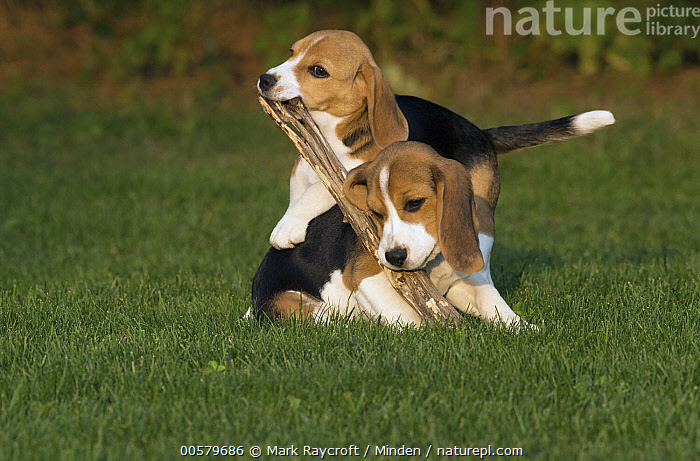 Beagle (Canis familiaris) puppies playing with stick, North America  ,  Baby, Beagle, Canis familiaris, Carrying, Color Image, Day, Domestic Dog, Full Length, Horizontal, Nobody, North America, Outdoors, Photography, Playing, Puppy, Side View, Stick, Two Animals,Beagle,North America  ,  Mark Raycroft