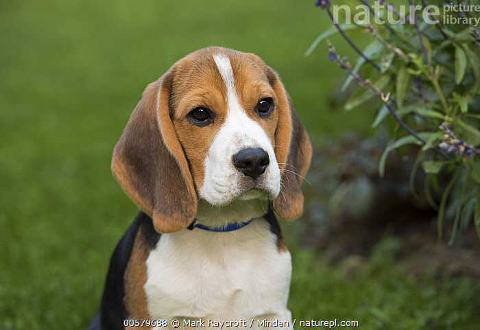 Beagle (Canis familiaris) puppy, North America, Baby, Beagle, Canis familiaris, Color Image, Day, Domestic Dog, Front View, Horizontal, Nobody, North America, One Animal, Outdoors, Photography, Puppy, Waist Up,Beagle,North America, Mark Raycroft
